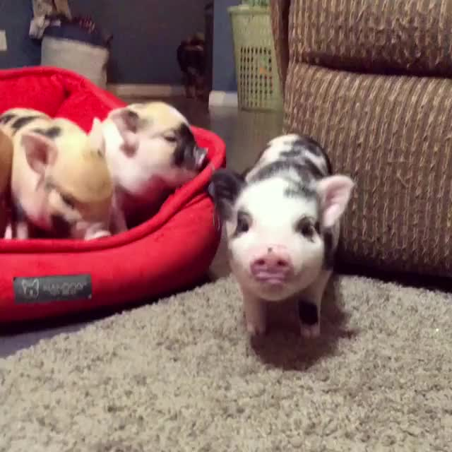 Watch and share Minipig GIFs and Piglet GIFs on Gfycat