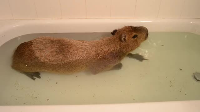 Watch and share Capybara GIFs and Bath GIFs by Crazy Cody's Creatures  on Gfycat
