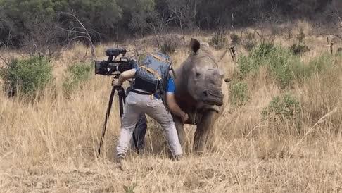 Watch and share Amazing Wild Rhino Approaches Cameraman GIFs on Gfycat
