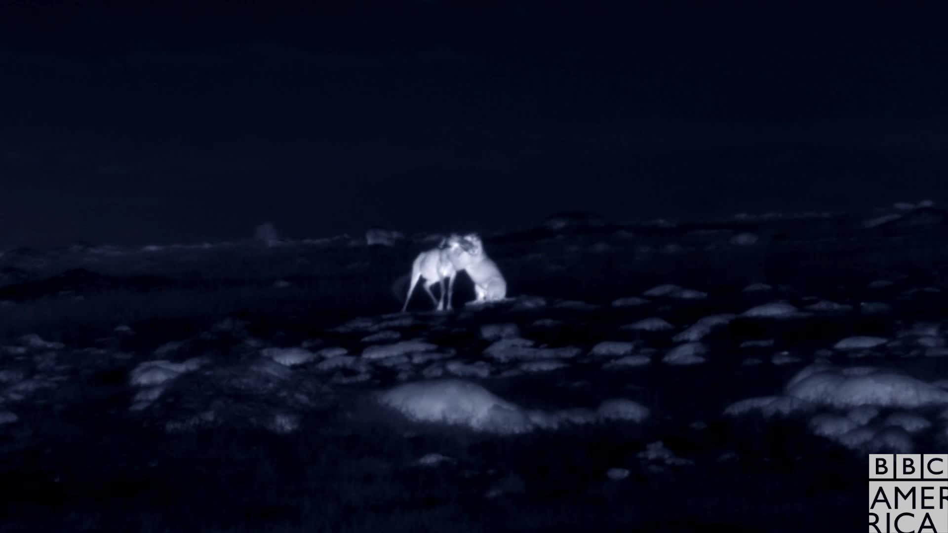 animal, animals, bbc america, bbc america: dynasties, dynasties, hunt, hunting, lion, lions, night, Dynasties Lioness Charm Hunting at Night GIFs