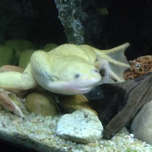Watch and share African Clawed Frog GIFs and Aquariums GIFs on Gfycat