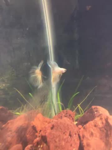 bettafish, My new Betta, help me name him! GIFs