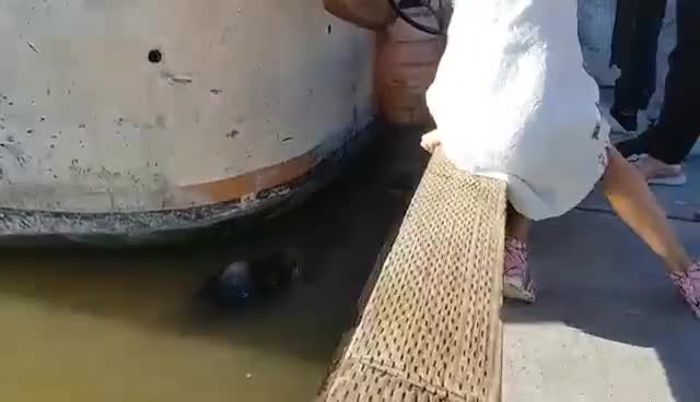 Watch and share Sea Lion Drags Girl Into Steveston Waters GIFs on Gfycat