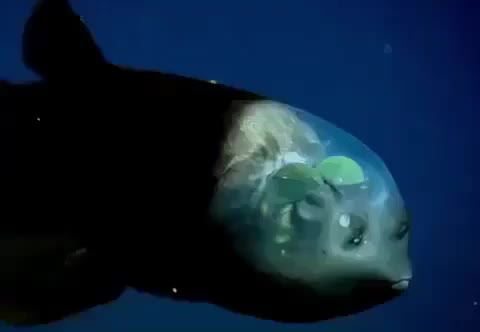 barreleye, fish, Barreleye fish GIFs