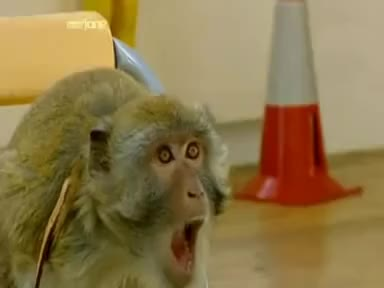 Watch and share Brainiac - Cheating Monkey GIFs on Gfycat