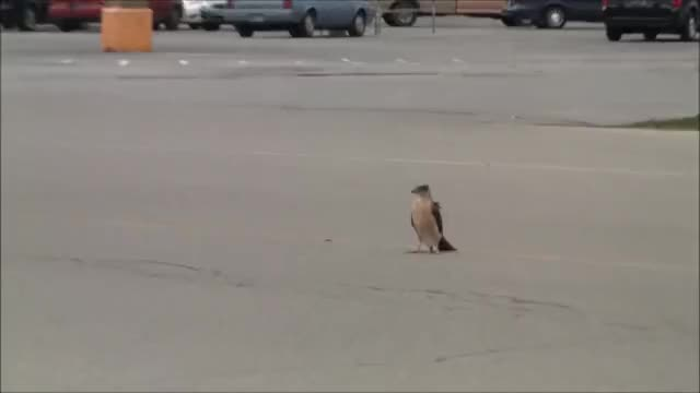Watch and share Cooper's Hawk Catches A Pigeon GIFs by Pardusco on Gfycat