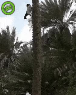 Watch and share Goat Returns From Tree Climbing GIFs on Gfycat