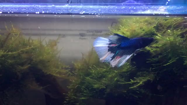 Watch and share Betta Fish GIFs and Blackworms GIFs by knsaber on Gfycat
