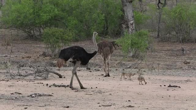 Watch and share Ostrich Family GIFs by Londolozi Game Reserve on Gfycat