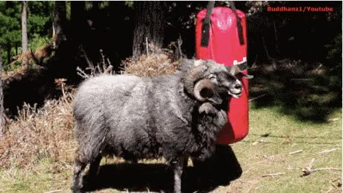Watch and share This Angry Ram Destroys A Punching Bag Like A Boss animated stickers on Gfycat