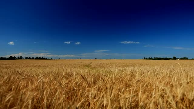 Watch and share Golden Wheat Field GIFs on Gfycat