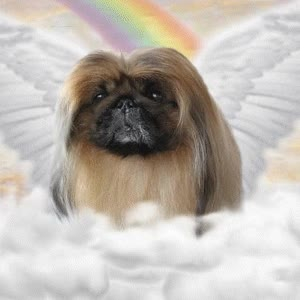 Watch and share Picture Of Ito, A Male Pekingese GIFs on Gfycat