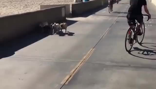 Watch Hermosa Beach dogs walking themselves GIF on Gfycat. Discover more related GIFs on Gfycat