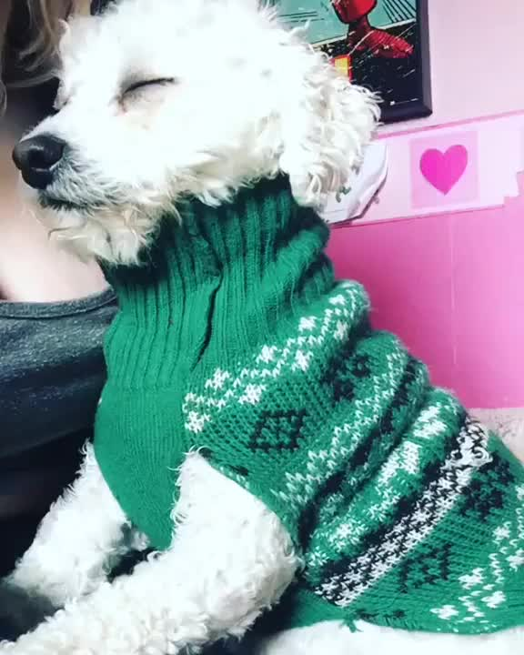 Watch and share Bichon Frise GIFs and Puppy GIFs on Gfycat