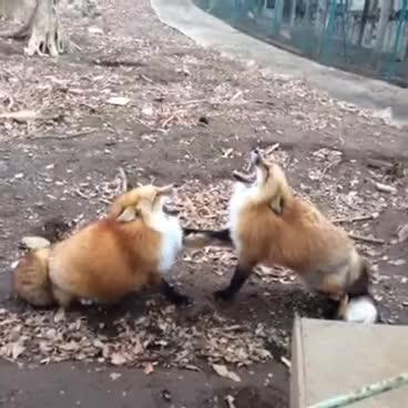 Gekkering Foxes GIFs