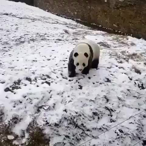 Watch and share This Derpy Panda Realizes He Can Roll Down Hills GIFs by mayaxs on Gfycat
