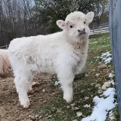 Watch and share So Fluffy 😭❤️ From @jugglingdaisies GIFs by whyhellomichael  on Gfycat