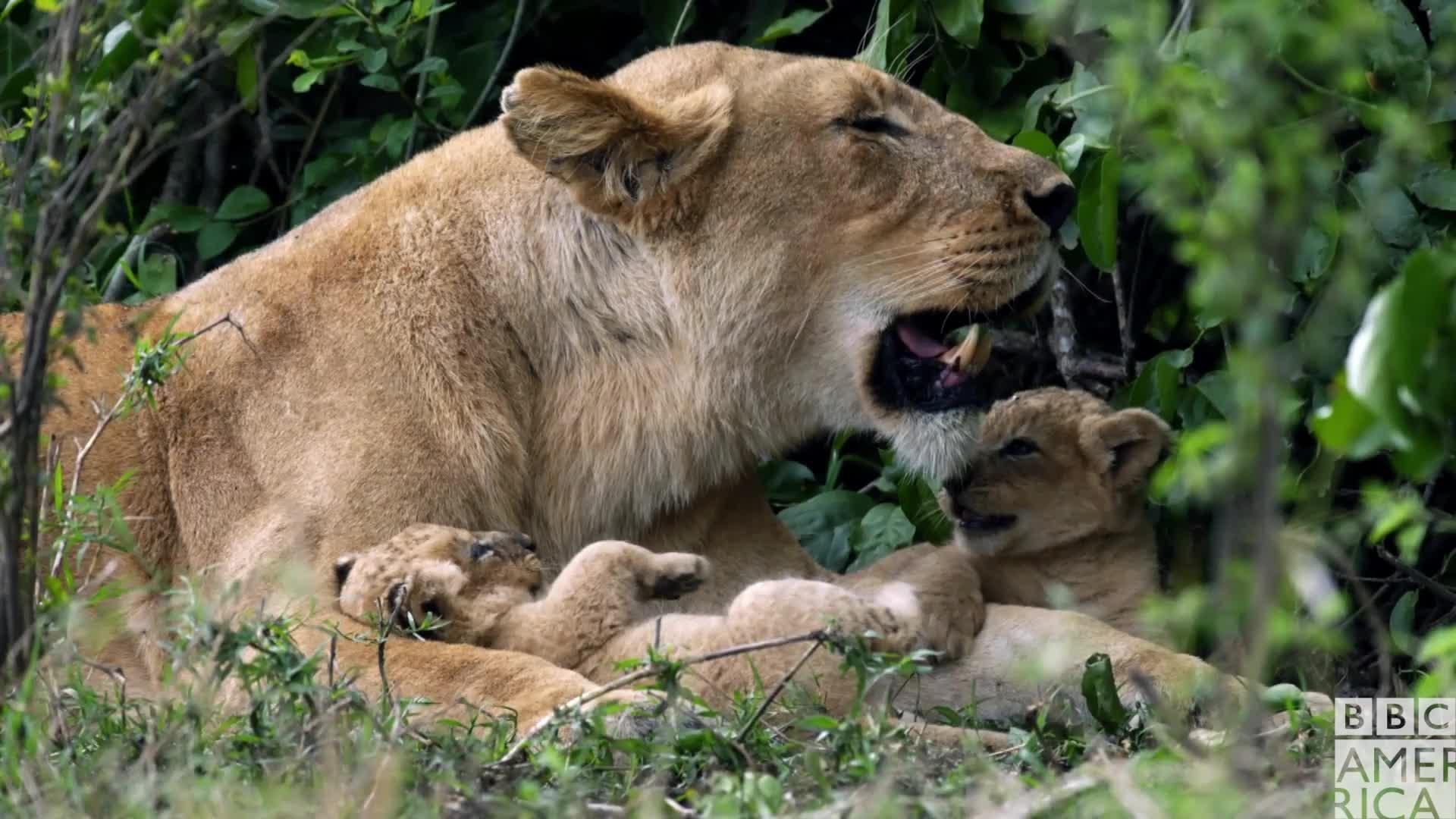 animal, animals, awww, bbc america, bbc america: dynasties, dynasties, lion, lions, sleep, sleepy, tired, wake up, zzz, Dynasties Sleepy Lions GIFs