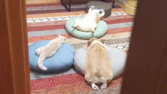 Watch and share Sploot GIFs and Derp GIFs by 1monkeyshort on Gfycat