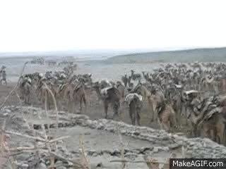Watch and share Camel Train Leaving To Salt Mines GIFs on Gfycat