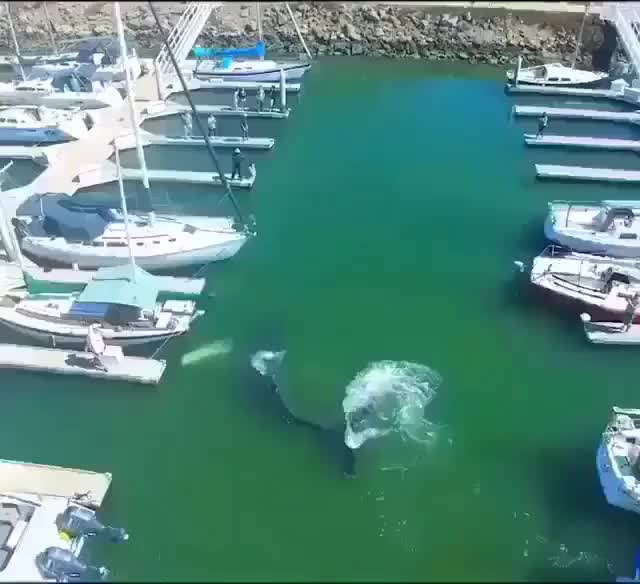 """Watch An unusual scene in this harbor. Good job to those people who help the whale go back to his home. ❤ """"This 35-foot Humpback Whale 🐋 was trap GIF on Gfycat. Discover more NatureLover, Naturegram, nature, natureaddict, naturelove, naturelovers, naturephoto, naturephotography, natureporn, natureshots, natureza GIFs on Gfycat"""