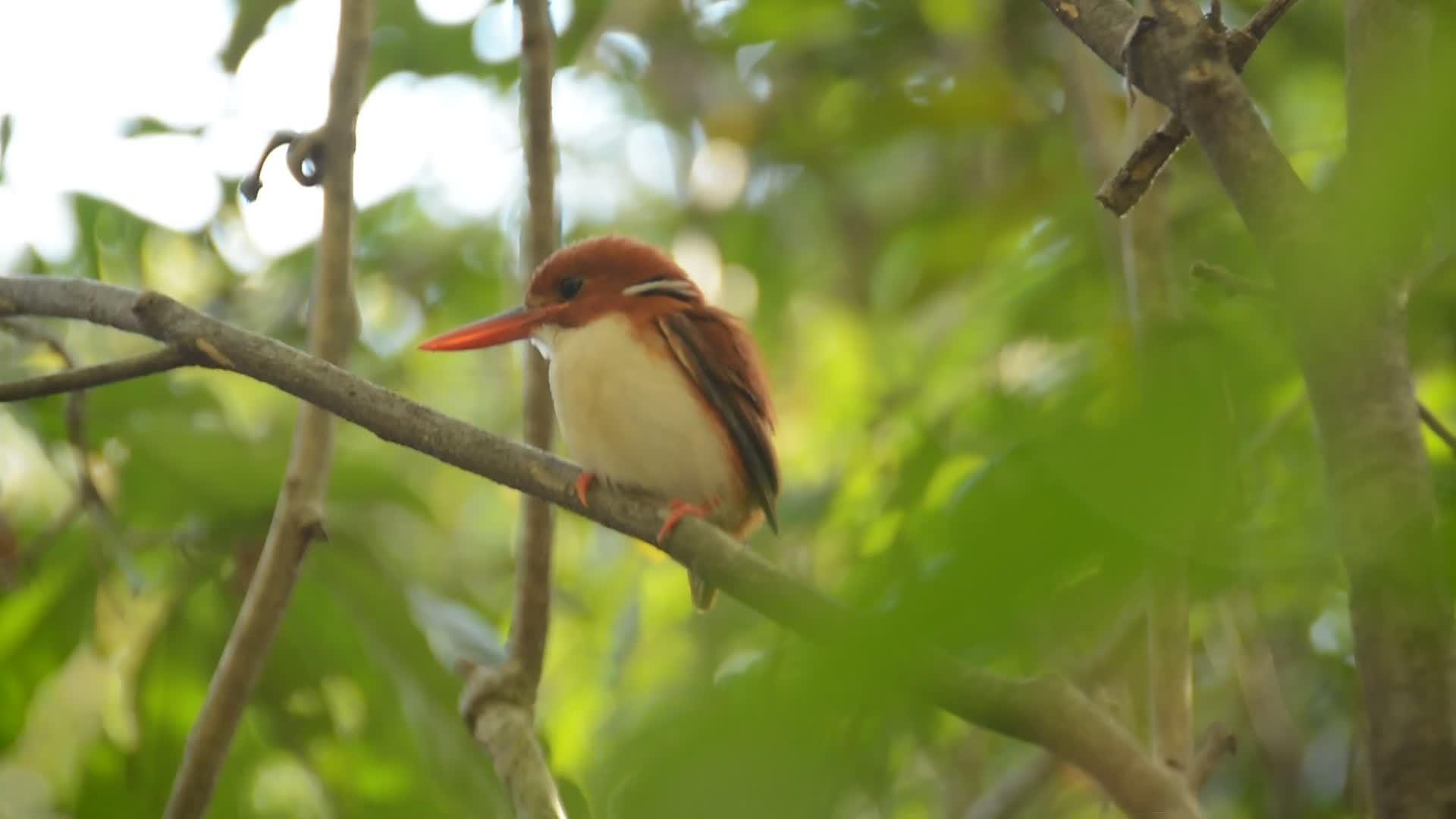birbs, Madagascan pygmy kingfisher GIFs