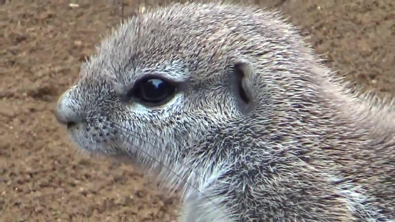 Cape ground squirrel (Xerus inauris) GIFs