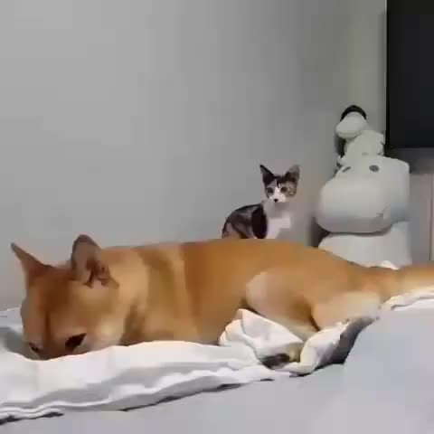 Watch and share Pleasant Cats 🇹🇷 GIFs by vani  on Gfycat