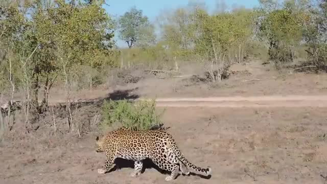 Watch and share Leopard Kills Kudu GIFs on Gfycat
