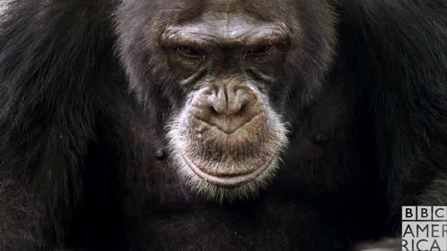 Watch this animal GIF by BBC America (@bbcamerica) on Gfycat. Discover more animal, animals, bbc america, bbc america dynasties, bbc america: dynasties, chimp, chimpanzee, chimpanzees, chimps, dynasties GIFs on Gfycat