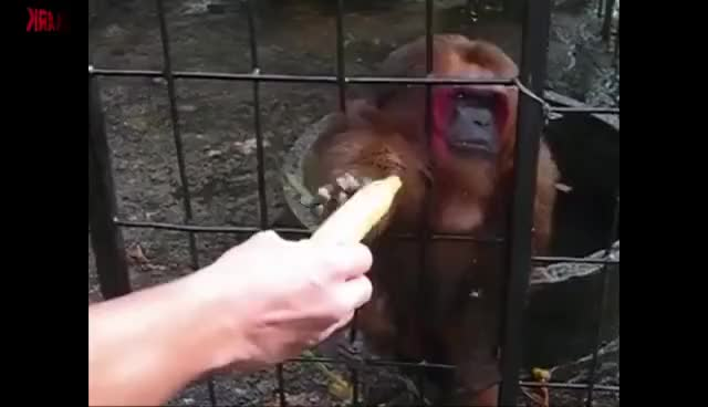 Watch and share Ghetto Monkey Eating Bananas (Funny Voiceover) GIFs on Gfycat