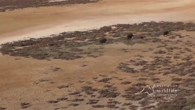 Watch and share Dingo Hunting Feral Pigs GIFs by Pardusco on Gfycat