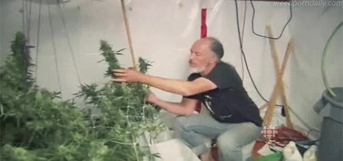 Watch CBC - Canadian Cannabis - harvesting weed GIF by WeedPornDaily (@weedporndaily) on Gfycat. Discover more 420, buds, cannabis, cbc, ganja, green, herb, kush, marijuana, mary jane, medical marijuana, mmj, pot, stoner, television, tv, weed GIFs on Gfycat
