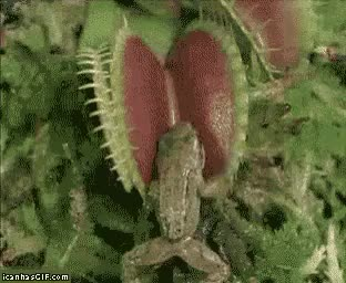 Watch funny carnivore plant eating frog GIF on Gfycat. Discover more related GIFs on Gfycat