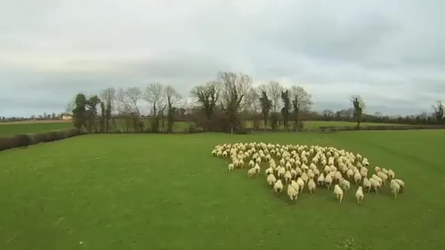 Watch and share Animals GIFs and Sheep GIFs by kevingregor on Gfycat