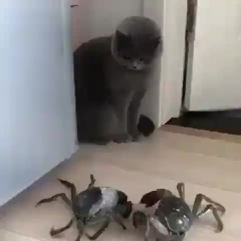 Watch this cat GIF by tothetenthpower (@tothetenthpower) on Gfycat. Discover more cat, crab GIFs on Gfycat