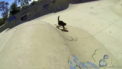 Watch Skateboarding cat! .. [video] GIF on Gfycat. Discover more amazing, animals, cat, cats, funny, gif, gif animation, kitty loves extreme sports, pet, pet blog, petcorner, pets, skateboarding cat GIFs on Gfycat