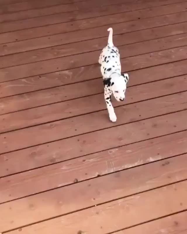 Watch and share Golden Retriever Shows Dalmatian Puppy How To Go Down Stairs. GIFs by likkaon on Gfycat