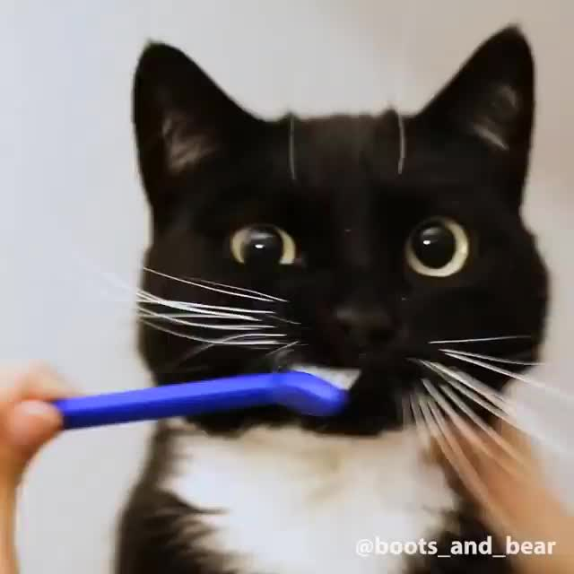 cat, cats, How I get my toofs brushed By boots_and_bear | IG GIFs