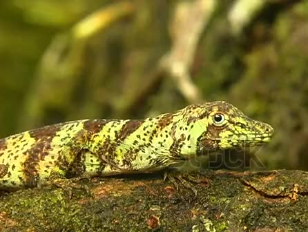 Watch and share Stock-footage-banded-tree-anole-anolis-transversalis GIFs by likkaon on Gfycat