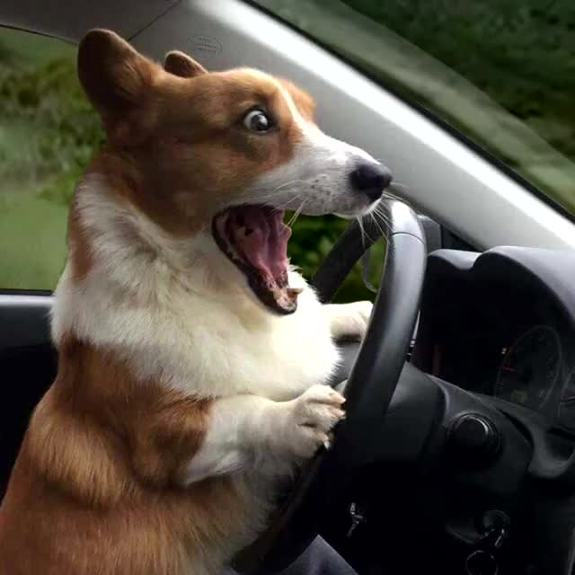 Watch and share Surprised Corgi)_1 GIFs by Artist on Gfycat