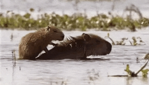 animal, animal gif, animal gifs, animals, capyabras, capybara, cute, cute gif, cute gifs, cutegif, cutegifs, omg, summer goals, summergoals, swim, swimming, wildlife, The Dodo GIFs