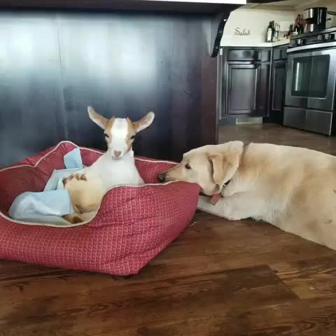 govegan, interspeciesfriendship, non-profit, rescue, sale ranch animal sanctuary, saleranchsanctuary, Harley watches over baby Bean at Sale Ranch Animal Sanctuary GIFs