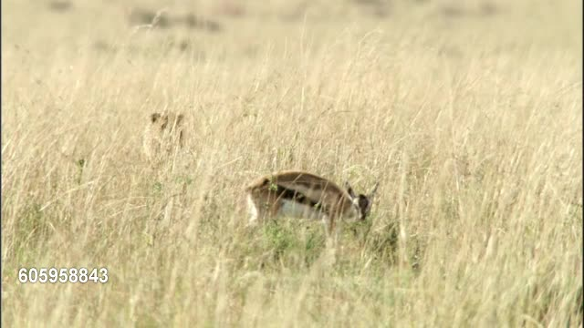 This Gazelle was given too many chances to escape GIFs
