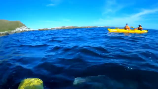 Watch Brutal Octopus slap by a seal caught on GoPro HERO7BLACK in NZ Kaikoura (short story) GIF on Gfycat. Discover more Hero, Kaikoura, Octopus, Original, Viral, barekiwi, brutal, face, footage, funny, gopro, hero7, hero7black, kayak, miracle, ocean, seal, slap, taiyomasuda, trending GIFs on Gfycat
