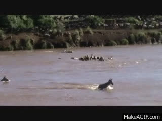 Heroic Hippo Saves Baby Zebra From Drowning In River GIFs