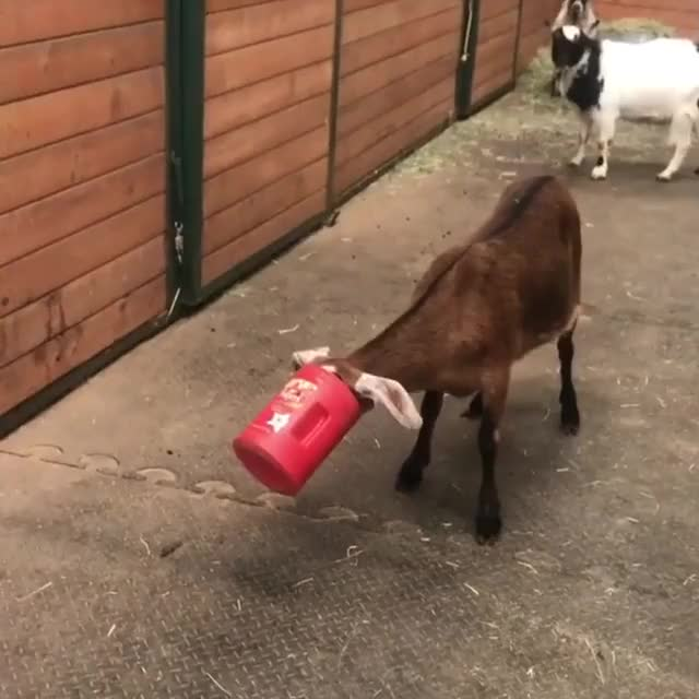 Watch and share /r/goatgifs - From Buckleythehighlandcow GIFs by cakejerry on Gfycat