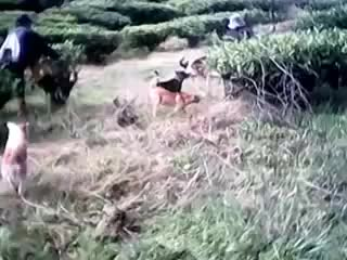 Watch and share Babi VS Anjing Kampung Pajaten (reddit) GIFs on Gfycat