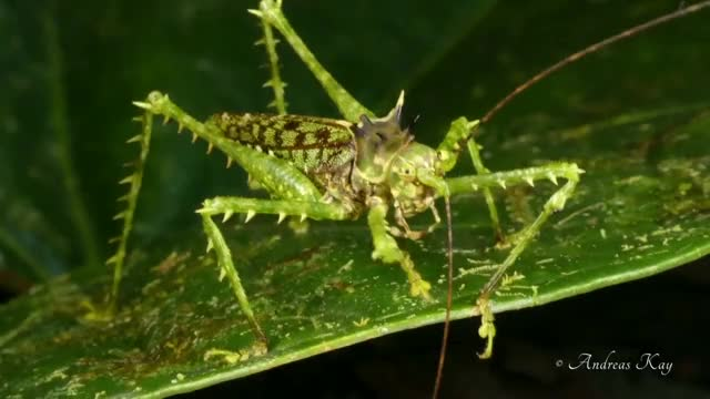 Watch Rainforest grasshopper is a master of disguise GIF by Slim Jones (@slimjones123) on Gfycat. Discover more amazing animals, amazing videos, cool videos, moss mimicking katydid, ocean life, unreal animals, viral videos, wild wildlife GIFs on Gfycat