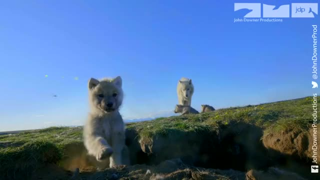 Watch and share Spy In The Wild GIFs and Arctic Wolves GIFs on Gfycat